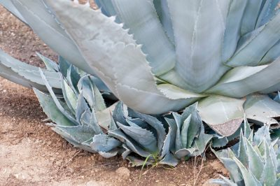 Agave Ableger abtrennen