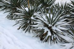 Agave Frost
