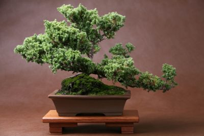 Moos Bonsai