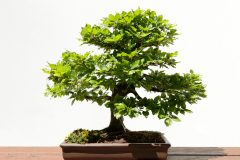 Bonsai Buche