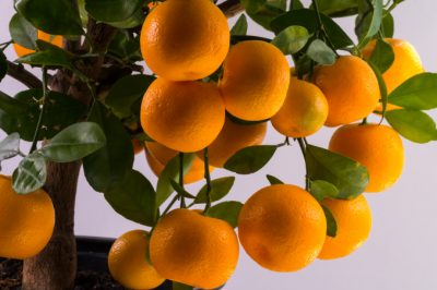 Calamondin-Orange Bonsai