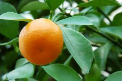 Calamondin Winter