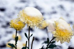 Chrysanthemen im Winter