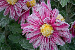 Chrysanthemen Frost