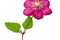 Clematis Ableger