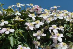 Clematis Hecke