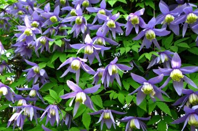 Clematis Pflanzabstand