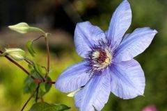 Clematis Sonne