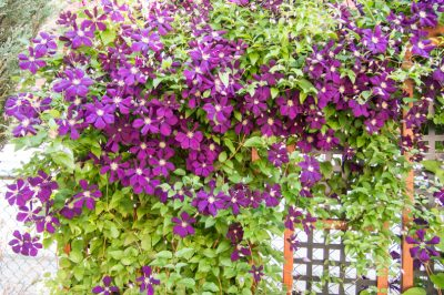 Clematis Spalier