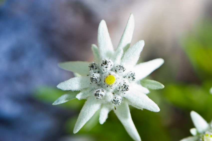 Edelweiss Related Keywords &amp Suggestions  Long