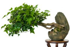 Bonsai Efeu