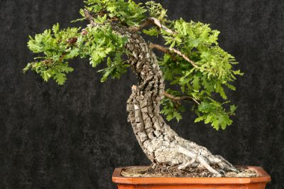 Eiche Bonsai