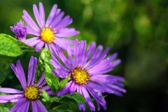 Aster Herbst