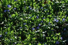 Vinca minor Pflanzabstand