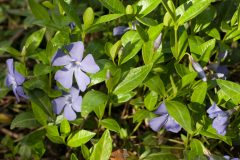 Vinca minor Pflege