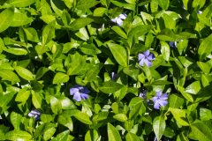 Vinca minor Steckbrief