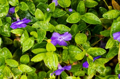 Vinca minor vermehren