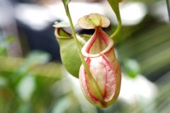 Nepenthes Blüte
