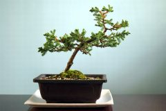Juniperus horizontalis Bonsai