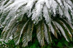 Palmfarn im Winter