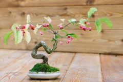 Spindelstrauch Bonsai