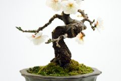 Schlehe Bonsai
