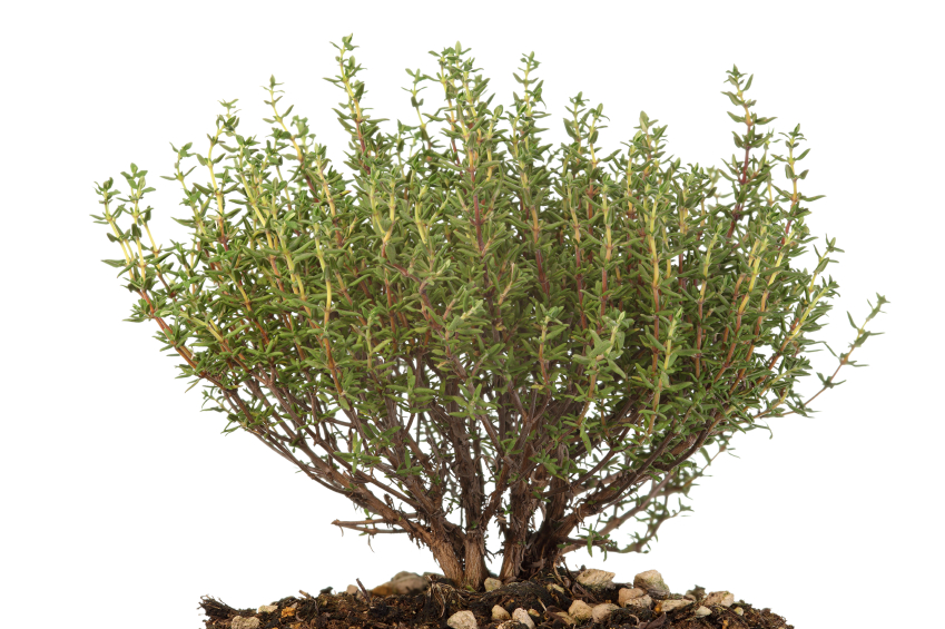 thymian pflanzen ein kleiner ratgeber. Black Bedroom Furniture Sets. Home Design Ideas