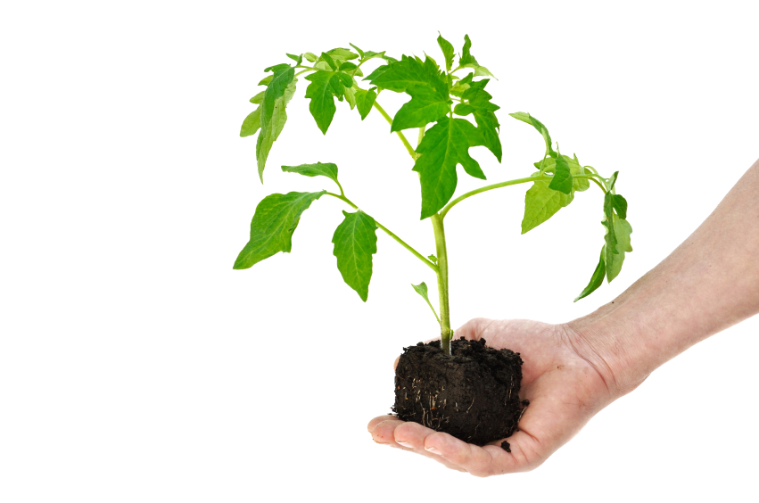 tomaten richtig pflanzen der gro e ratgeber. Black Bedroom Furniture Sets. Home Design Ideas