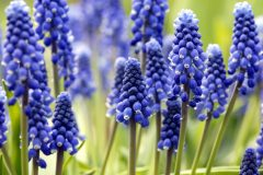 Muscari Steckbrief