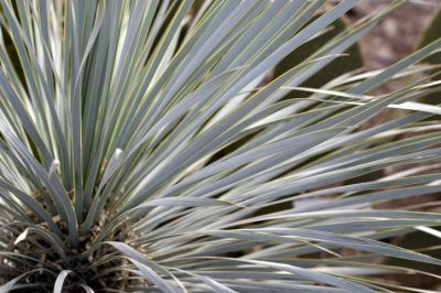 Yucca rostrata Frost
