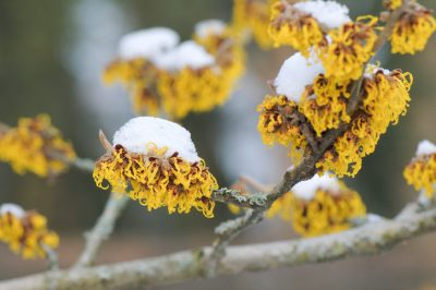 Hamamelis Winter