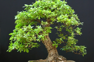 bonsai-eiche