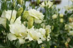 eustoma-winterhart