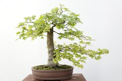 feldahorn-bonsai