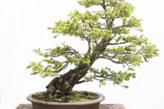 fichte-bonsai