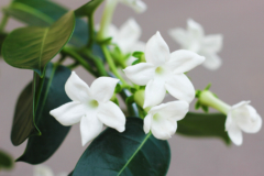 madagaskar-jasmin-newsletter