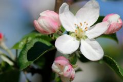 obstbaum-rosa-blueten