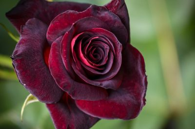 rose-black-baccara-pflege